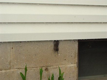 Mouse stuck in siding
